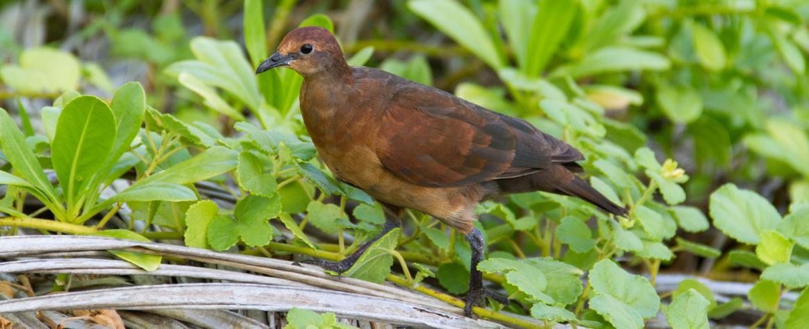 island-conservation-invasive-species-preventing-extinctions-polynesian-gene-drive-gbird-polynesian-ground-dove-feat-gbird