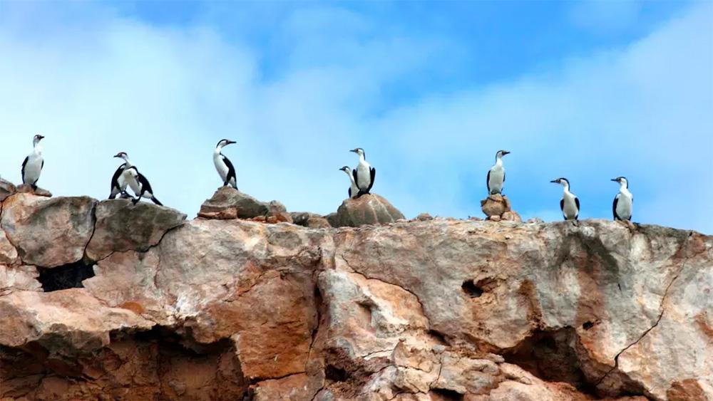 island-conservation-genetic-biocontrol-invasive-species-cormorants