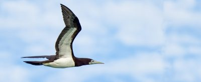 island-conservation-preventing-extinctions-invasive-species-brown--booby-palmyra-feat