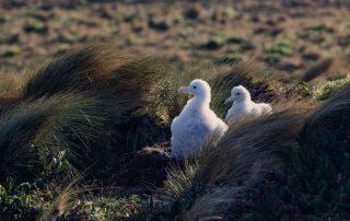island-conservation-invasive-species-preventing-extinctions-antipodean-albatross-gene-drives-un-treaty