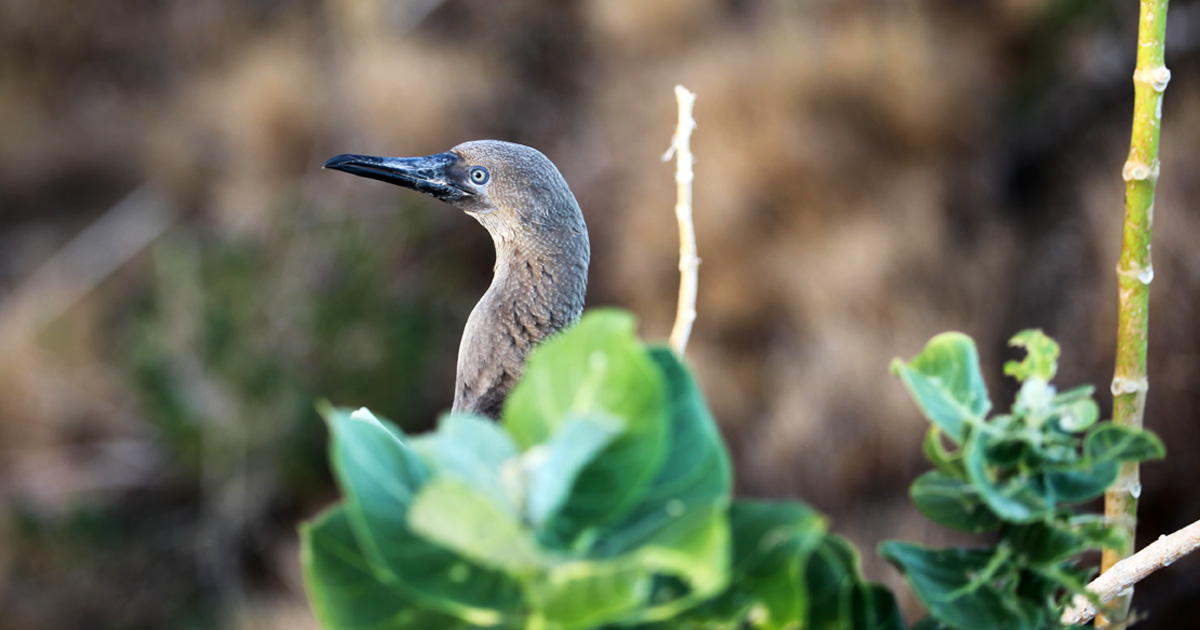 island-conservation-invasive-species-preventing-extinctions-gbird-gene-drive-economist-lehua