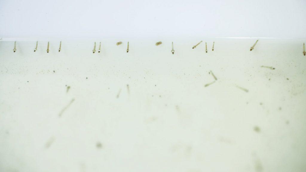 genetic-biocontrol-invasive-rodents-partnership-mosquito-pupae