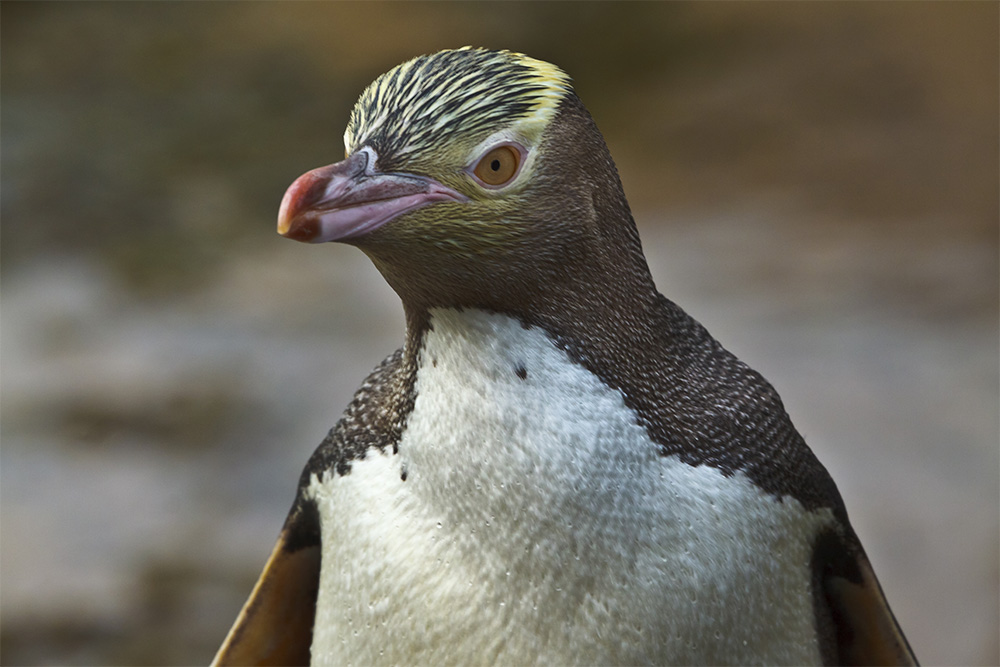 island-conservation-genetic-biocontrol-invasive-rodents-partnership-karen-poiani-yellow-eyed-penguin-genetic-modification