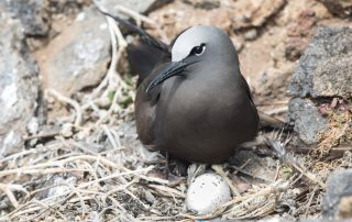 island-conservation-invasvie-species-preventing-extinctions-san-ambrosio-gbird-mitochondrial-dna-rats