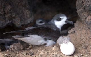 island-conservation-invasvie-species-preventing-extinctions-san-ambrosio-gbird-public-perception-feat