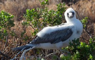 island-conservation-invasive-species-preventing-extinctions-gbird-biosafety-conference-lehua-seabird
