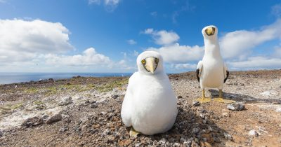 genetic-biocontrol-invasive-rodents-gbird-island-conservation-san-ambrosio-masked-booby-fb